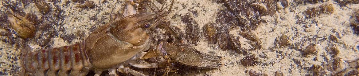 Orconectes limosus
